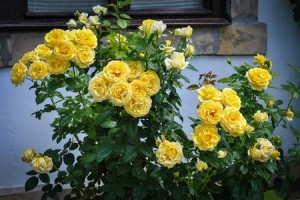 shrub-rose